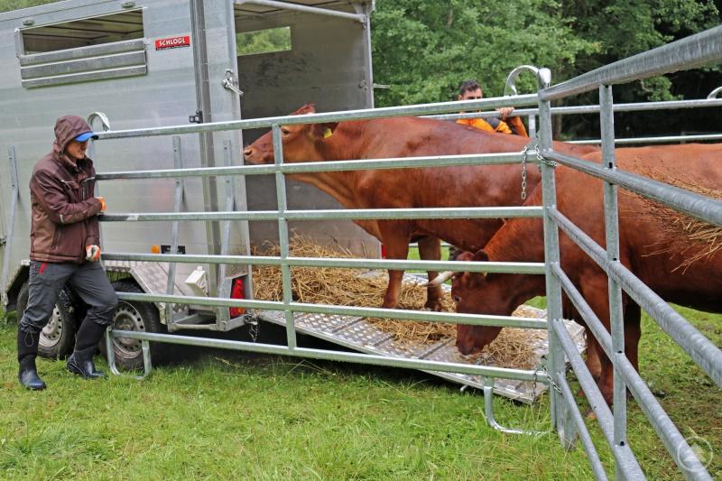 Die Rinder standen zuvor auf der Weide in Kreuzstraßl, wurden von den Mitarbeitern des Nationalparks auf Hänger geladen und von dort aus auf den Ruckowitzschachten gebracht.