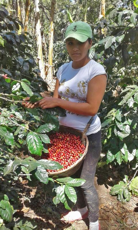 Die Bohnen des fair gehandelten Kaffees aus El Salvador werden in der Region des Nationalparks Montecristo per Hand gepflückt.