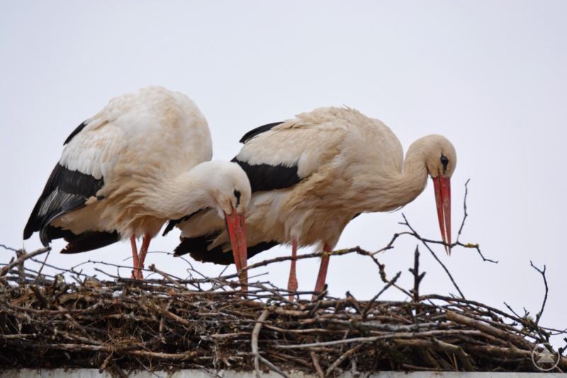 Die Störche sind wieder da auf dem Dach der Grafenauer Nationalparkverwaltung. Auf der Homepage des Nationalparks lassen sich die Vögel nun via Webcam beobachten.