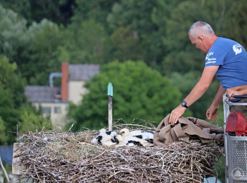 Nach wenigen Minuten konnte Markus Schmidberger, der mit der Grafenauer Drehleiter zum Nest hochgefahren wurde, die Beringung beenden. Währenddessen lag eine Decke über den Vögeln, um sie zu beruhigen.