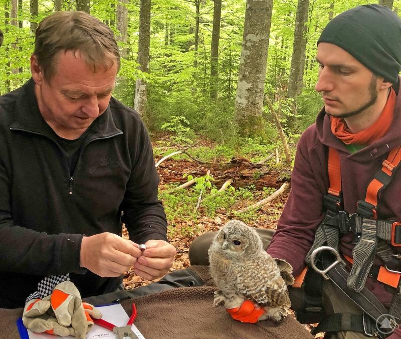 Um ihren späteren Lebensweg zu verfolgen, legten Nationalparkmitarbeiter – wie hier Helmut Hackl (links) und Jonas Hagge – insgesamt 50 jungen Waldkäuzen Ringe an.
