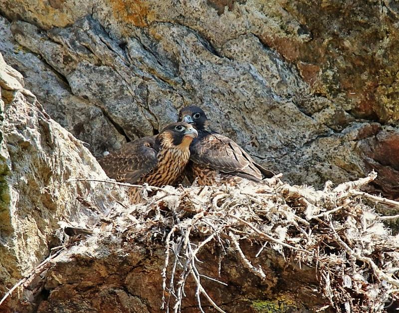 Die Wanderfalken im Höllbachgespreng waren mit ihrer Brut erfolgreich. Vor knapp zwei Wochen sind drei Jungvögel erstmals aus dem Horst geflogen.