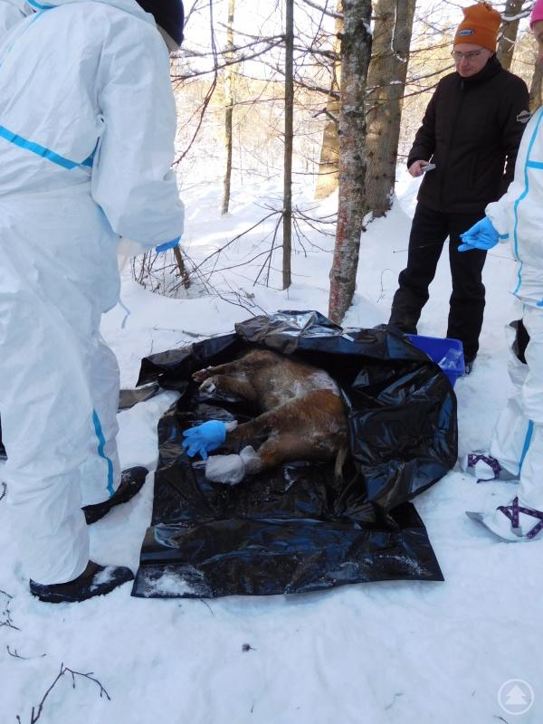 Bereits im Februar 2019 wurden im Landkreis Übungen zur Bergung von Wildschweinkadavern durchge-führt, bei denen Kadaver in Waldgebieten gesucht und geborgen wurden, teils unter widrigen Bedingungen mit Schneeschuhen im Tiefschnee.