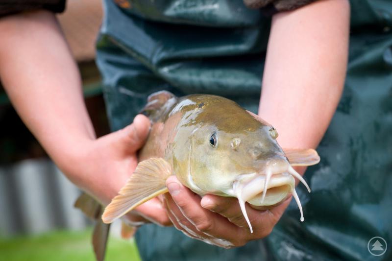 Die Barbe, eine der bestandsgefährdeten Fischarten.