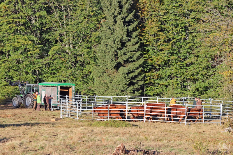Nationalparkmitarbeiter haben das Rote Höhenvieh am Donnerstag vom Hochschachten auf Zwischenweiden bei Kreuzstraßl gebracht.