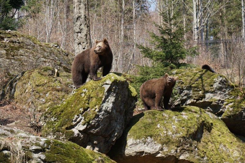 Die beiden 2016 im Tier-Freigelände des Nationalparks Bayerischer Wald zur Welt gekommenen Bären – hier ein Bild aus dem April 2017 – sind jüngst ins Salzburger Land umgezogen.