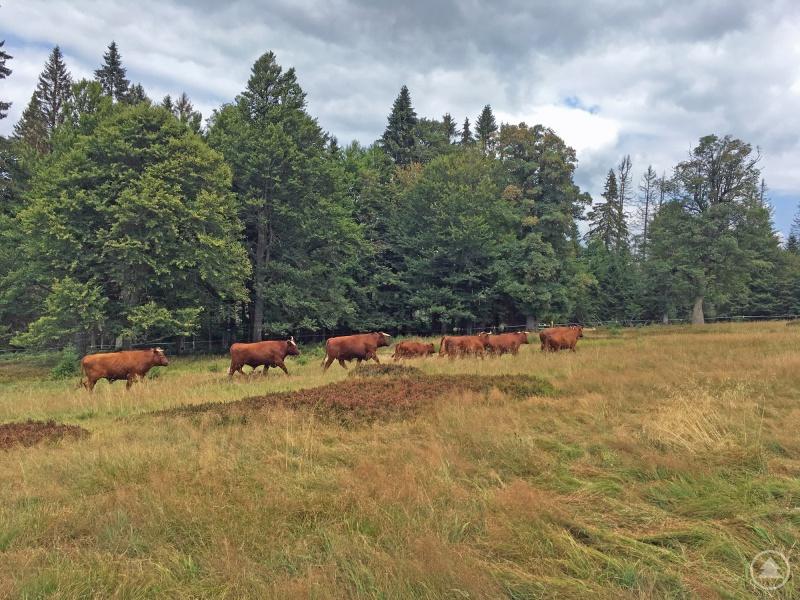 Die zehnköpfige Rinderherde des Nationalparks ist wohlbehalten auf dem Hochschachten angekommen.