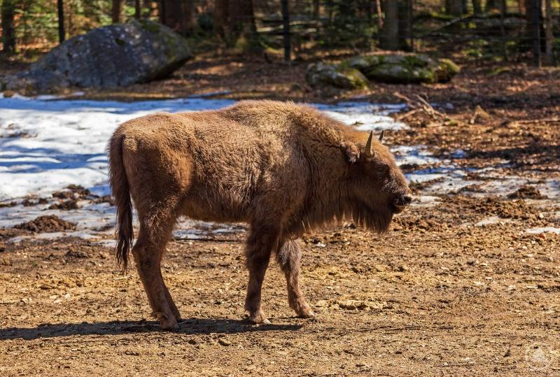Abmiri lebte bisher im Tier-Freigelände des Nationalparks bei Neuschönau. Nun ist das Tier auf dem Weg in die rumänische Freiheit.