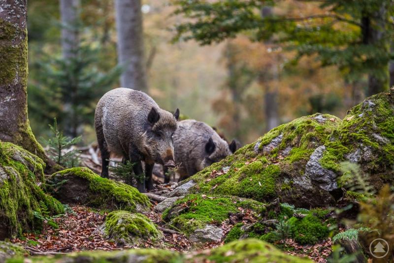 Wildschweine im Tier-Freigelände. Im Jagdjahr 2017/2018 wurden insgesamt 290 Stück Schwarzwild erlegt.