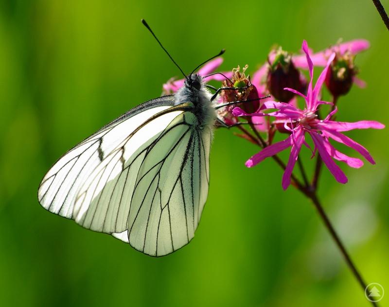 """""""Wo sind unsere Schmetterlinge hin?"""" lautet einer der Filme, die beim NaturVision Schulprogramm gezeigt werden."""