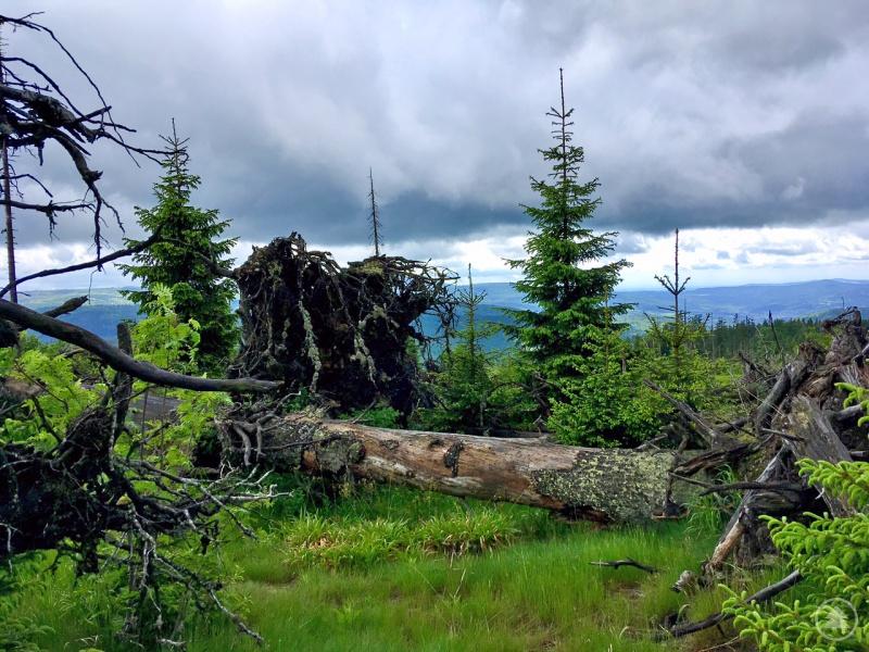 Die nachkommende Vegetation kann die CO2-Freisetzung durch Windwürfe wieder auffangen.