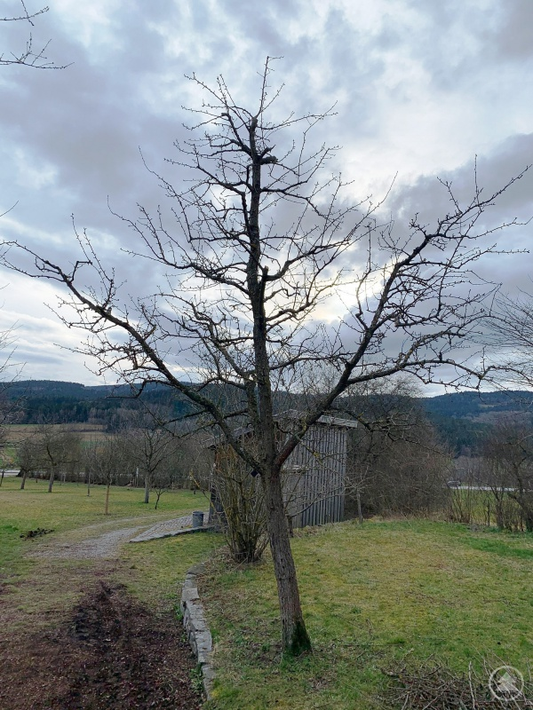 Ein 20-jähriger Birnen-Hochstamm nach dem Erziehungsschnitt. Gut erkennbar die Leitäste außen, und eine mit Fruchtästen garnierte Stammverlängerung in der Mitte.