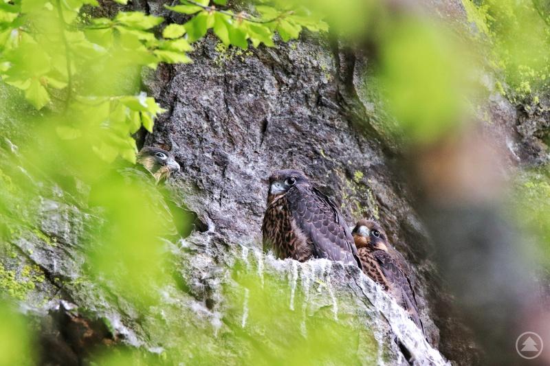 Drei junge Falken sind im Höllbachgespreng ausgeflogen.