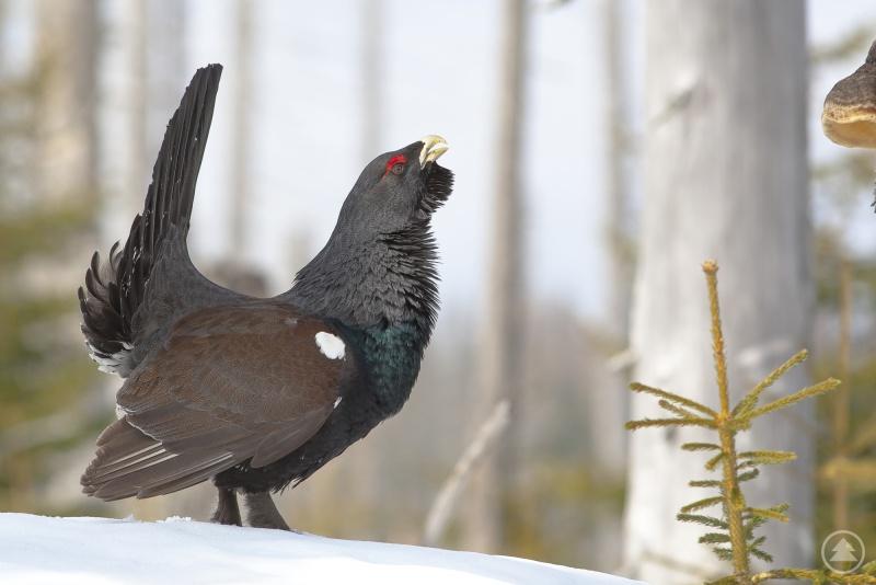 Feuerwerk und Böller scheuchen störungsempfindliche Tiere, wie Auerhühner, auf. Dadurch verbrauchen die Vögel lebensbedrohlich viel Energie.