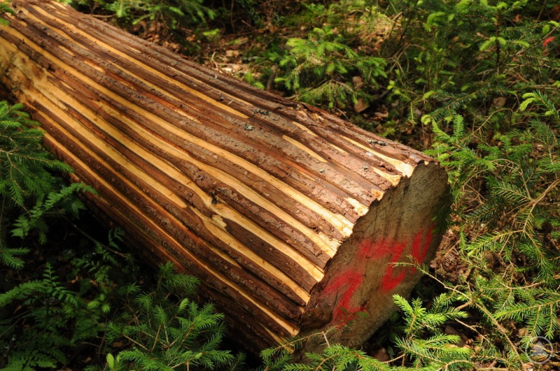 So sieht ein geritzter Baumstamm mit dem Rindenstreifenmesser aus. Der Borkenkäfer wird bekämpft, im Gegensatz zur Komplettentrindung bleibt jedoch die Artenvielfalt erhalten.