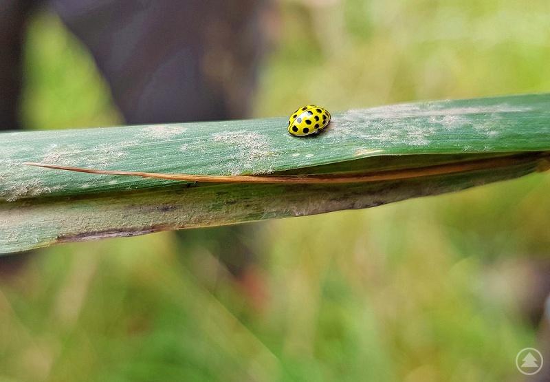 Typische Kleinpilzarten, die als Parasiten auf Pflanzen wachsen, sind Echte Mehltaue. Hier werden dessen kleine Fruchtkörper von einem auf Mehltau spezialisierten 22-Punkt-Marienkäfer gefressen.