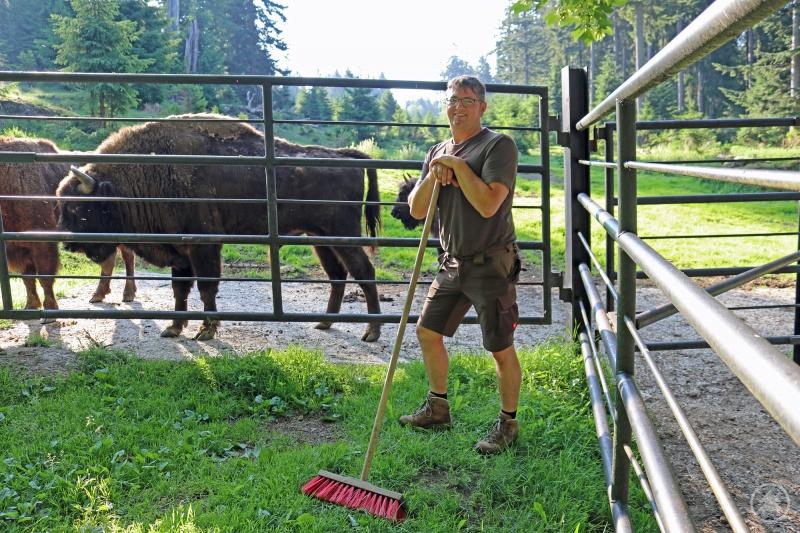 Wenn die Wisente ihn hören, kommen sie: Andreas Hackl ist Tierpfleger im Tier-Freigelände des Nationalparks Bayerischer Wald in Altschönau.