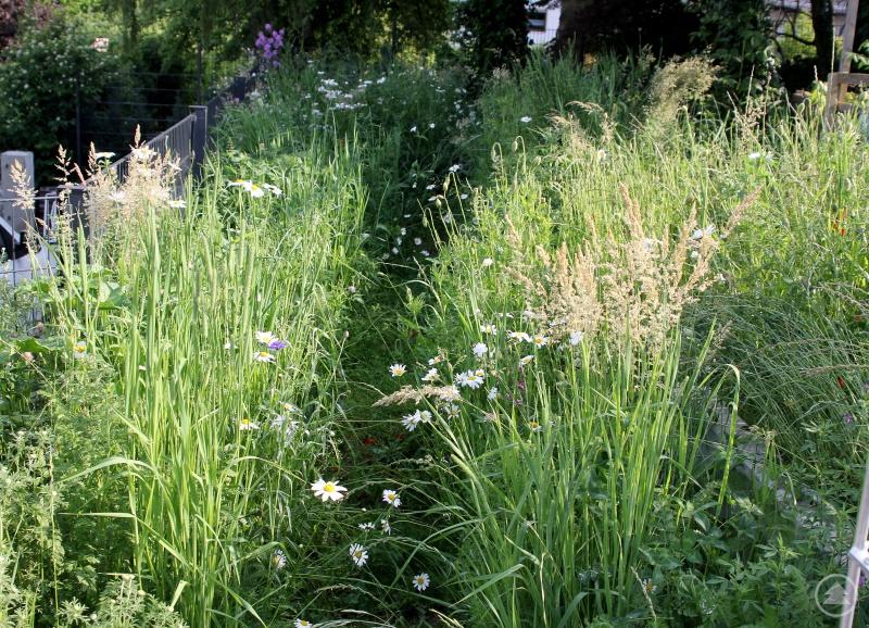 Durch die Blumenwiese von Linda Langer führt ein kleiner Weg, so kann man die Artenvielfalt bei Pflanzen und Insekten auch aus der Nähe beobachten.