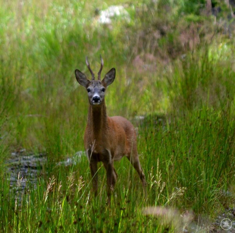 Mit viel Geduld fotografiert Woife Tiere in der Natur, hier einen Rehbock