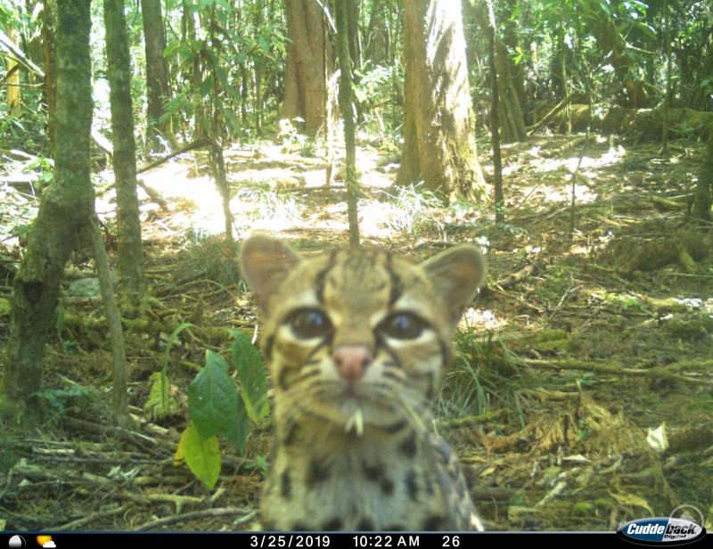 Ein Margay beim Blick in die Kamera. Die Langschwanzkatze ist eine der nachgewiesenen Wildkatzenarten im Nationalpark Montecristo.