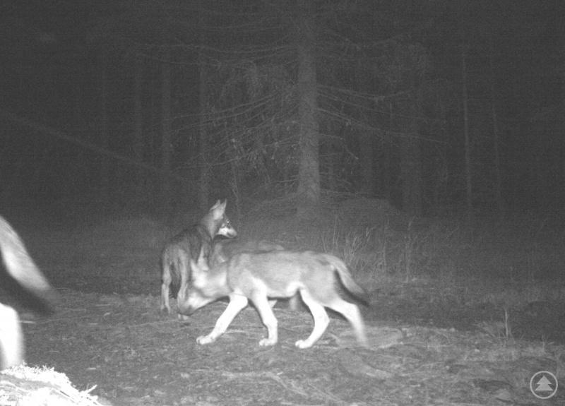 Jungwölfe tappten im Nationalpark Šumava in eine Fotofalle.