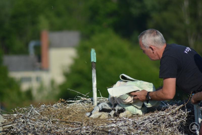 Nach wenigen Minuten konnte Markus Schmidberger, der mit der Grafenauer Drehleiter zum Nest hochgefahren wurde, die Beringung beendet. Währenddessen lag eine Decke über den Vögeln, um sie zu beruhigen.