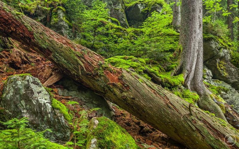Das Urwaldgebiet am Höllbachgespreng ist Heimat für viele bedrohte Arten.