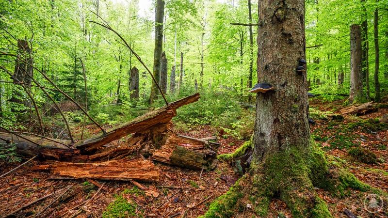 Einblicke in die Waldwildnis gibt's am 10. Juni auf dem Instagram-Kanal des Nationalparks Bayerischer Wald.