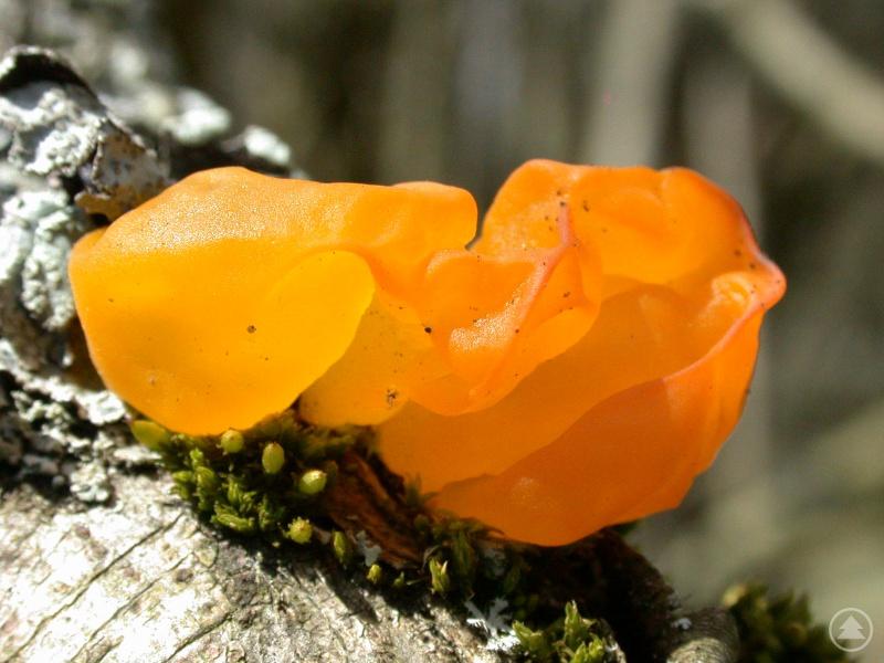 Auf Laubhölzern in luftfeuchten Wäldern und Auen wächst der Goldgelbe Zitterling (Tremella_mesenterica). Durch die gallertige Konsistenz und goldgelbe Farbe ist er kaum verwechselbar.