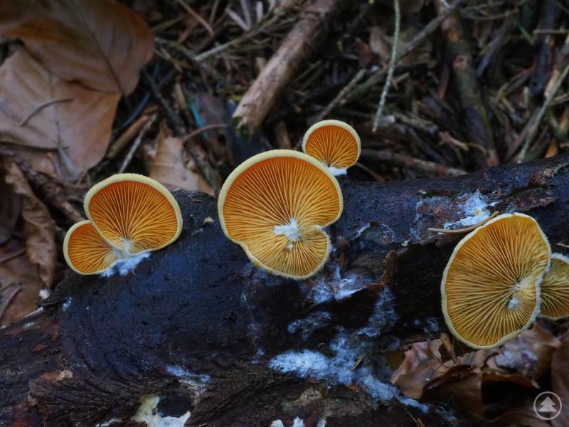 Der Orangeseitling (Phyllotopsis_nidulans) wächst an diversen abgestorbenen Laubhölzern, wie zum Beispiel Buche und Weiden.