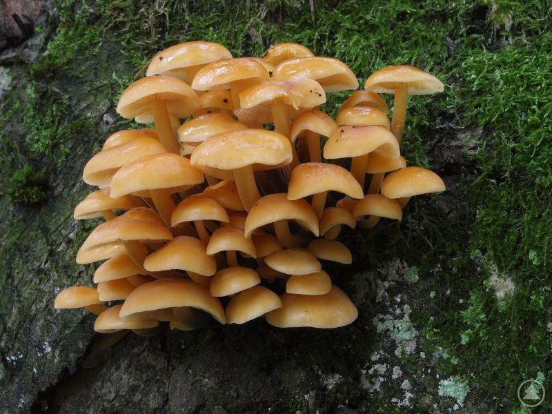 Sehr frostresistent und auch essbar ist der Wintersamtfußrübling (Flammulina_velutipes). Er wächst auf Laubhölzern wie Weiden, Pappel, Ahorn, Buche oder Eiche.