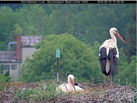 Die Storchendame, die im Nest auf dem Dach der Grafenauer Nationalparkverwaltung brütet, ist das gleiche Weibchen, das auch schon im vergangenen Jahr da war.
