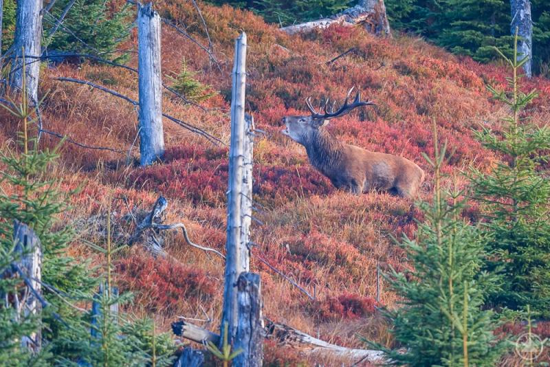 Ein einmaliges Erlebnis ist die Hirschbrunft im Nationalpark. Die Tiere sind nicht nur zu hören, sondern manchmal auch zu sehen.