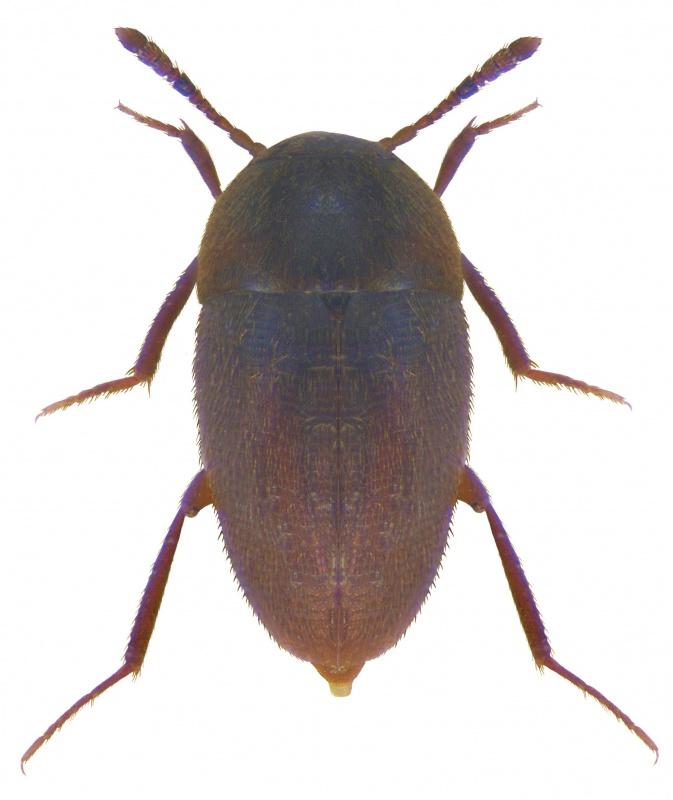 Er ist 1,5 bis 2 Millimeter groß, eiförmig und konnte nun erstmals im Nationalpark Bayerischer Wald nachgewiesen werden: Der Nemadus colonoides