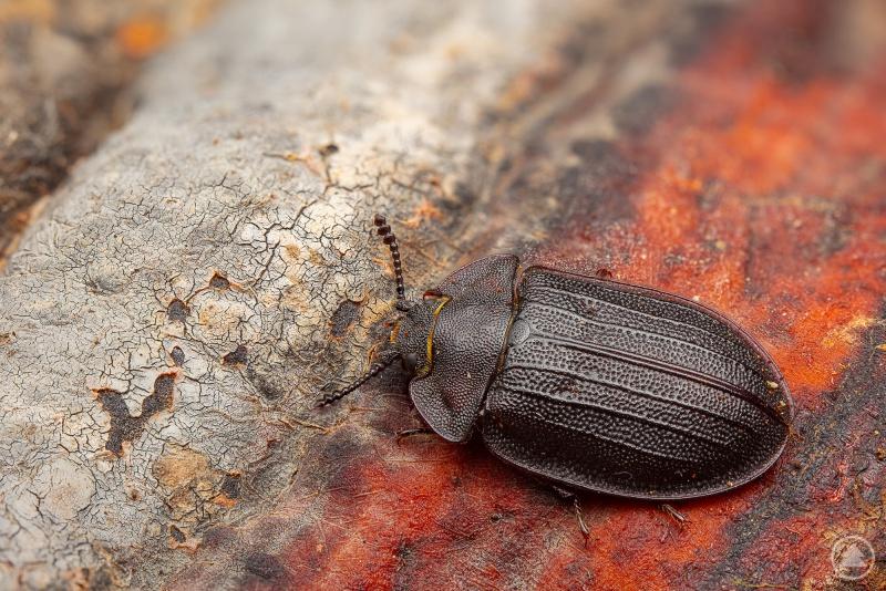 Eine echte Rarität: Peltis grossa. Der Flachkäfer kann bis zu zwei Zentimeter groß werden.