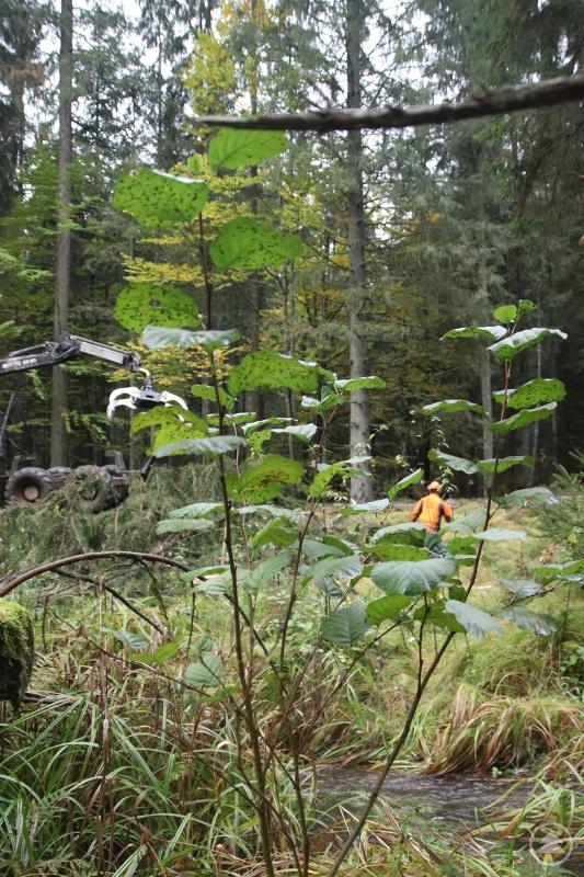 An der Deffernik bei Zwieslerwaldhaus sowie am Großen Regen bei Bayerisch Eisenstein finden derzeit Maßnahmen zur Förderung der Grau-Erlen statt.